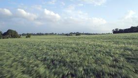 Junges Gersten-Feld im Sommer stock video