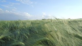 Junges Gersten-Feld im Sommer stock video footage