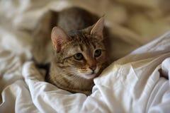 Junges gestreiftes Katzenlügen stockfotografie