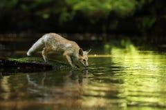 Junges Getränkwasser des roten Fuchses vom Fluss- Vulpes Vulpes Lizenzfreie Stockfotos