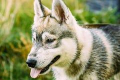 Junges glückliches Husky Eskimo Dog Sitting In-Gras Stockbild