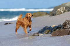 Junges golden retriever auf dem Strand Stockbild