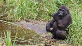Junges Gorillaessen Stockfoto