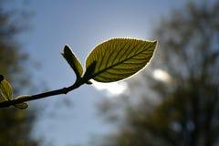 Junges grünes Blatt in kontrastierendem Licht im Park Stockfotos