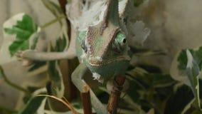 Junges grünes Chamäleon ändert seine Haut stock video footage