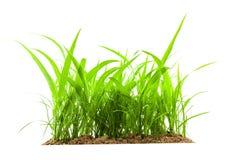 Junges grünes Gras, das aus dem Boden heraus, lokalisiert auf weißem b wächst Lizenzfreies Stockbild