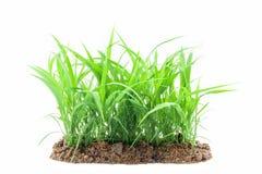 Junges grünes Gras, das aus dem Boden heraus, lokalisiert auf weißem b wächst Stockbilder