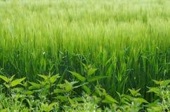 Junges grünes Weizen-Feld Stockbild