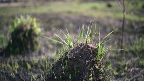 Junges Gras auf der Asche und Hügel aus den geschwärzten Grund auf dem Gebiet nach einem Feuer stock footage