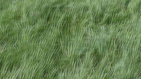 Junges Gras, das auf einen starken Wind beeinflußt stock video