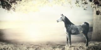Junges graues arabisches Hengstpferd ist auf Hintergrund von Feldern, von Weiden und von großem Baum mit Laub Lizenzfreies Stockfoto