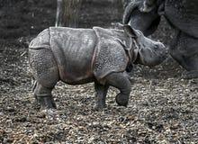 Junges großes indisches Nashorn Stockfotos