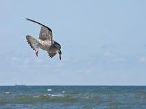 Junges Heringmöveflugwesen über dem Meer Lizenzfreie Stockfotografie