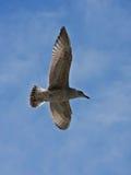 Junges Heringmöveflugwesen auf dem blauen Himmel Lizenzfreie Stockfotos