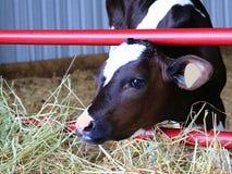 Junges Holstein-Kalb, das Heu isst stockbilder