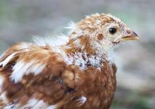Junges Huhn lizenzfreies stockbild