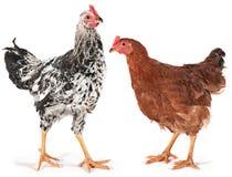 Junges Huhn und Hahn Lizenzfreie Stockbilder
