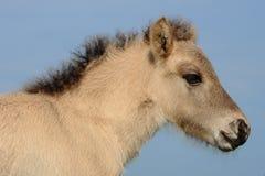 Junges Islandic Pferd Stockbilder