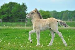 Junges Islandic Pferd Stockfoto