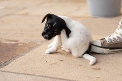 Junges Jack Russell Terrier-Hündchen 7,5 Wochen alt Mit der Tatze verkratzt der Hund stockfotos