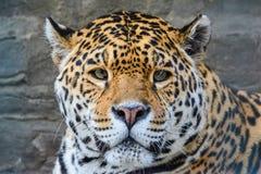 Junges Jaguarporträt Lizenzfreies Stockbild