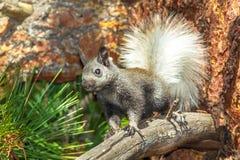 Junges Kaibab-Eichhörnchen Stockfotos