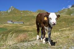 Junges Kalb in den Alpen, Italien Stockfotos