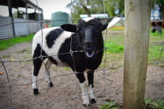 Junges Kalb in einem Bauernhof Lizenzfreies Stockfoto