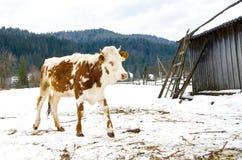 Junges Kalb, welches das Heu steht nahe bei einer Scheune im Winter im Dorf kaut Lizenzfreie Stockfotografie