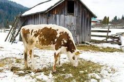 Junges Kalb, welches das Heu steht nahe bei einer Scheune im Winter im Dorf kaut Stockfoto