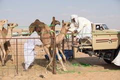 Junges Kamel, das auf einem LKW geladen wird Stockbilder