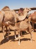 Junges Kamel am Kamel-Markt in Al Ain Stockfoto