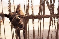 Junges Kamel schaut von hinten einen Zaun Stockfoto