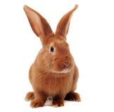 Junges Kaninchen stockbilder