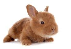 Junges Kaninchen stockfotografie