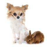 Junges Kaninchen und Chihuahua lizenzfreie stockbilder