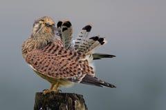 Junges Kestrelpoliermittel die Federn Stockfoto