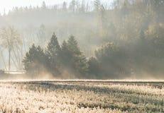 Junges Kiefersämlingsgarten-Landschaftsmorgens Licht mit Nebel Stockbilder