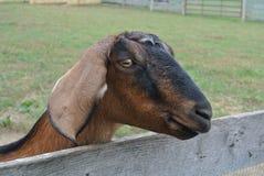Junges Kindermädchen Goat Stockbild