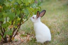 Junges kleines weißes Kaninchen überprüft Korinthenbusch mit Neugier Lizenzfreie Stockbilder