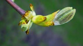 Junges Knospenholz, Baumknospe Frühling Stockbilder