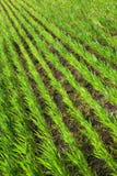 Junges Korn stockfotografie