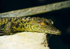 Junges Krokodil lizenzfreie stockfotografie