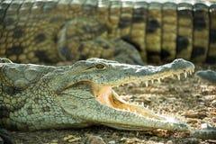 Junges Krokodil, das auf dem felsigen Ufer liegt Stockbild