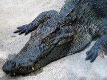 Junges Krokodil, das aus den Grund stillsteht stockbild