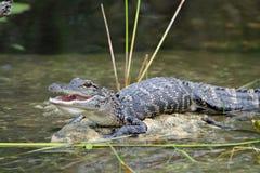 Junges Krokodil mit dem Mund-geöffneten Aalen im Sun Lizenzfreies Stockbild