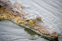 Junges Krokodil, welches die Kamera betrachtet Stockfotografie