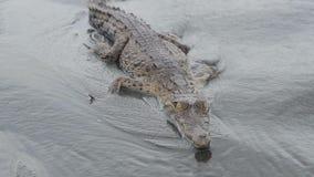 Junges Krokodil, welches die Kamera betrachtet stock footage