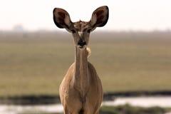 Junges Kudu Stockfoto
