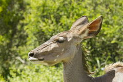 Junges kudu, das durch starken Busch geht Stockbild